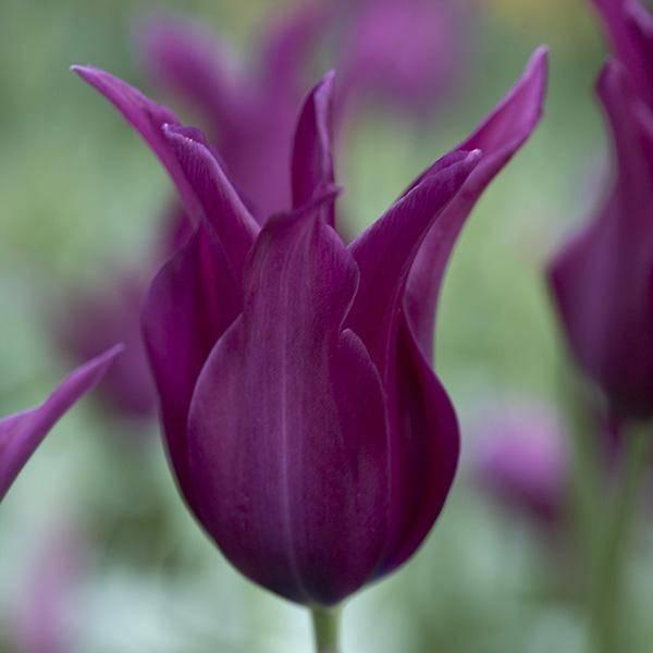 Bilde av Tulipan Burgundy - 8 løk