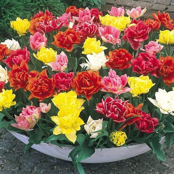 Bilde av Doble tidlige tulipaner, fargeblanding. 25 løk