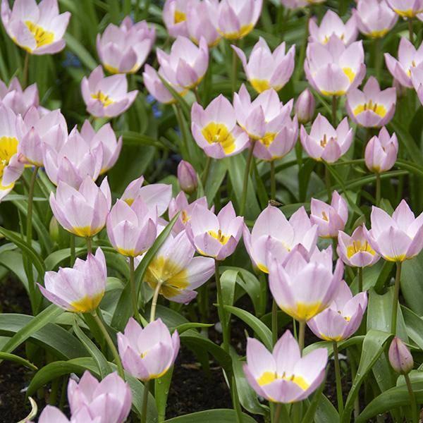 Bilde av Botanisk tulipan Bakeri Lilac Wonder - 10 løk