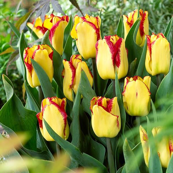Bilde av Tulipan Cape Town - 15 løk