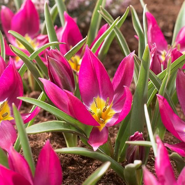 Bilde av Botanisk tulipan Eastern Star - 10 løk - Nyhet!