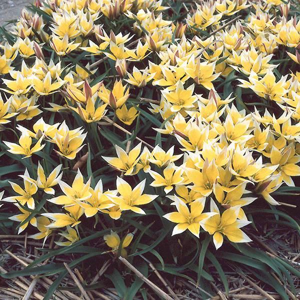 Bilde av Botanisk tulipan Tarda - 15 løk