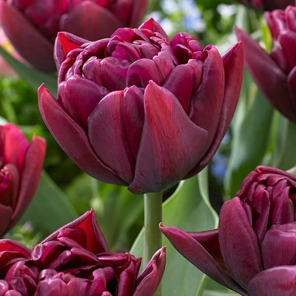 Bilde av Tulipan Allison Bradley - 6 løk