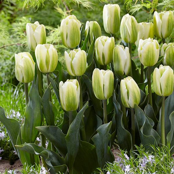 Bilde av Tulipan Green Spirit - 8 løk