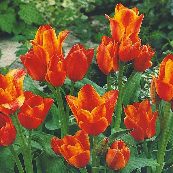 Bilde av Tulipan Compostella - 8 løk