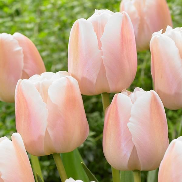 Bilde av Tulipan Apricot Pride - 10 løk – Nyhet!