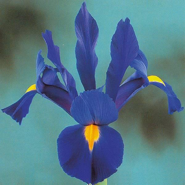Bilde av Iris hollandica Valentine - 10 løk