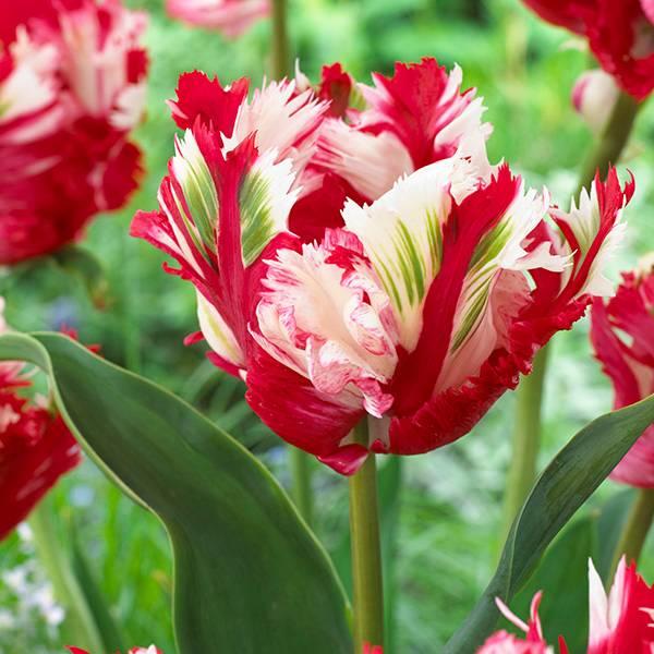 Bilde av Tulipan Estella Rijnveld - 6 løk