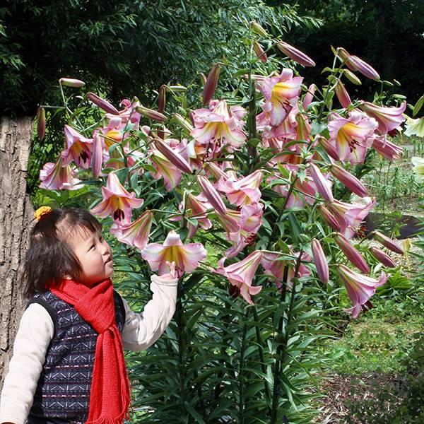 Bilde av Lilje Beijing Moon  - 3 liljeløk
