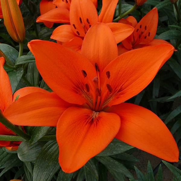 Bilde av Lilje Orange Summer   Nyhet!  3 liljeløk